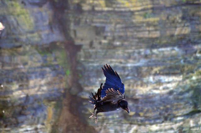 Raven tumbling