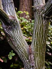 Manchurian Snakebark Maple, Seattle, Washington, Winter 2017