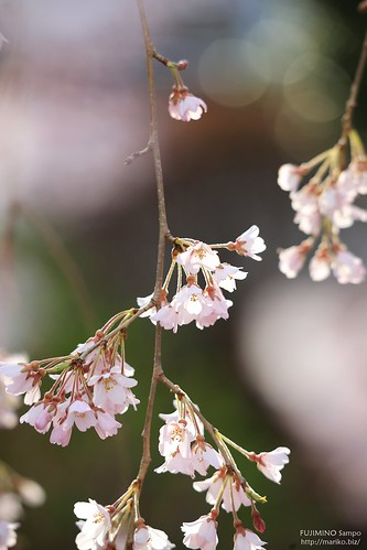 地蔵院枝垂れ桜 20170327-IMG_9036-1