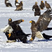 Steller's Sea Eagles (Dani Free)