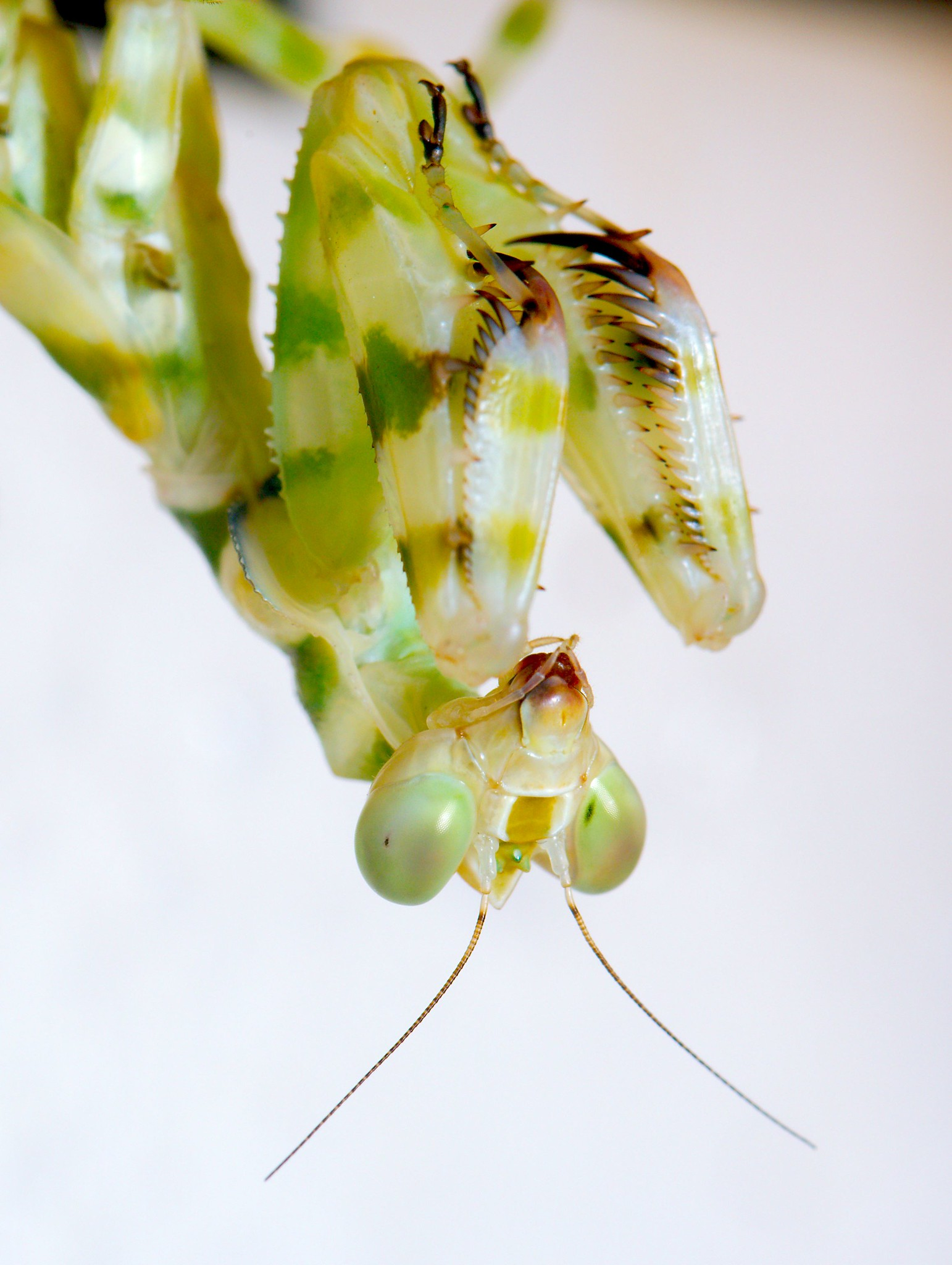 Banded Flower Mantis