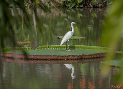 Queen Victoria Water Lily Pad with Little Egret (Victoria amazonica) (DTHB1618) ดอกบัวกันนกยางเปีย