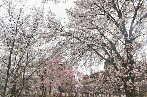 【写真】2014 桜 : 平野神社/2020-06-29/IMGP5568