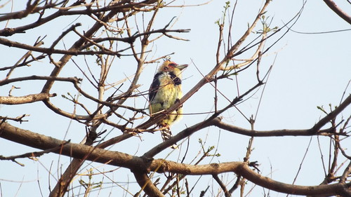 Birds Barbet