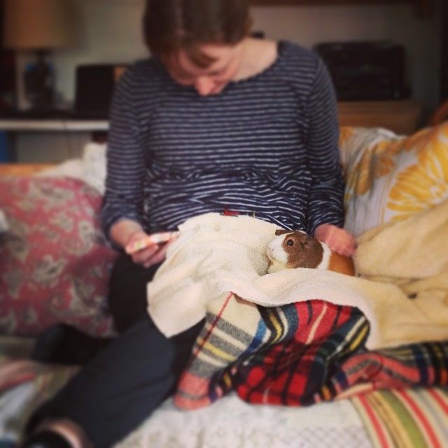 cuddles with Claudia #guineapig #cavy