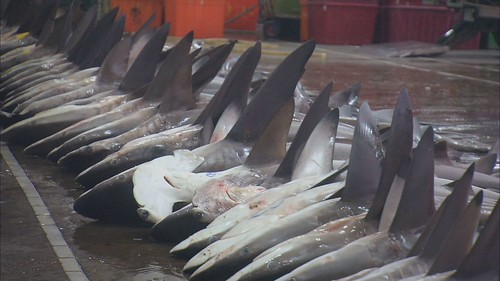 台灣曾經是少數獵捕鯨鯊的國家