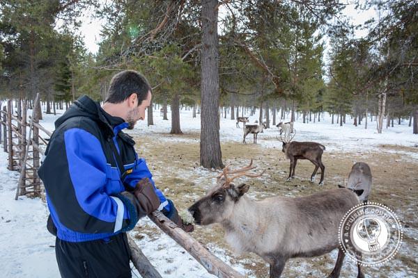 The Culture of Sami Reindeer Herding   Finnish Lapland Feeding a Reindeer in Finland