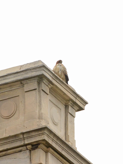 St. John's Adult Hawk (8654)