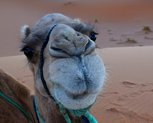 Cara de dromedario, que no camello