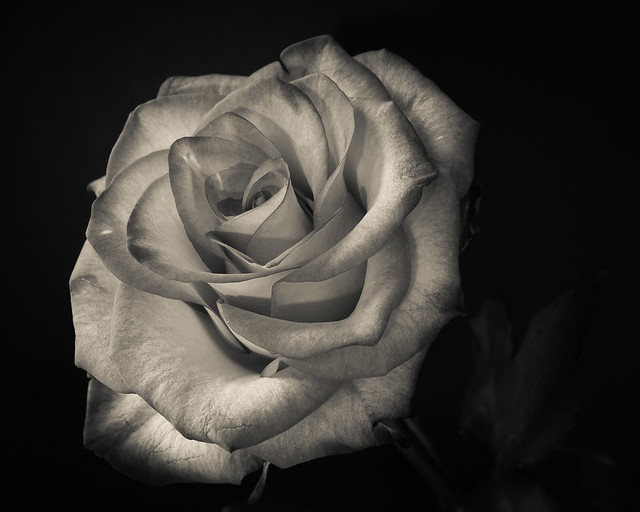 Rose, Monochrome, Macro, Flower, B&W
