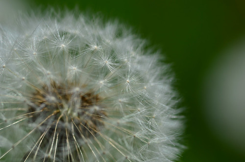 <p><i>Taraxacum officinale</i>, Asteraceae<br /> Burnaby Mountain Conservation Area, Burnaby, British Columbia, Canada<br /> Nikon D5100, 105 mm f/2.8<br /> May 11, 2014</p>