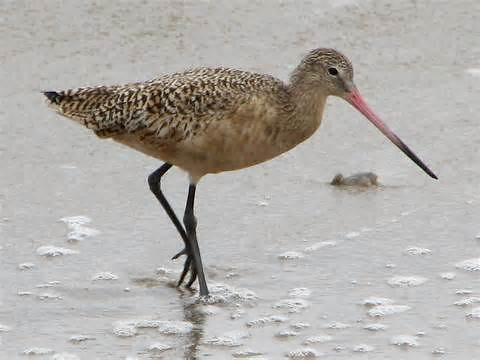 A marbled godwit searches for his lunch along the edge of prairie wetlands. NRCS photo.