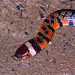 Triangle Water Snake (Hydrops triangularis) ©berniedup