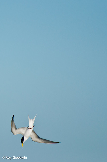 Least Tern - diving for fish