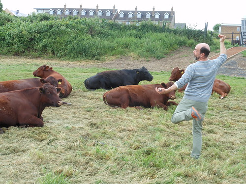 Dancing with cows