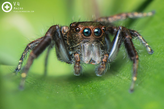 Heavy Jumper (Hyllus sp. ♂) showing fang arrangement