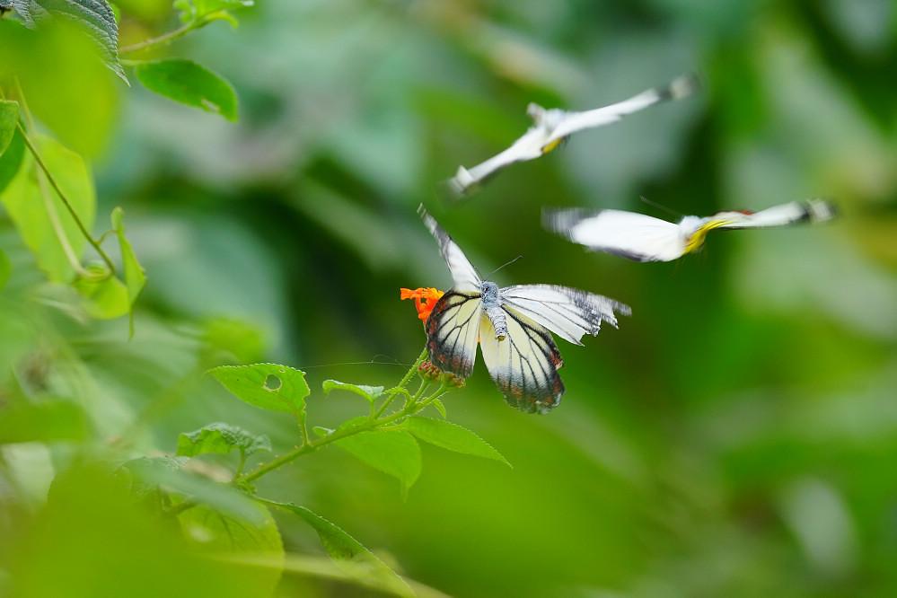 艷粉蝶屬白艷粉蝶14S103