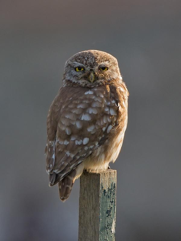 Little Owl 2014-05-03