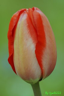 Tulip Ready To Bloom_May 11_6823