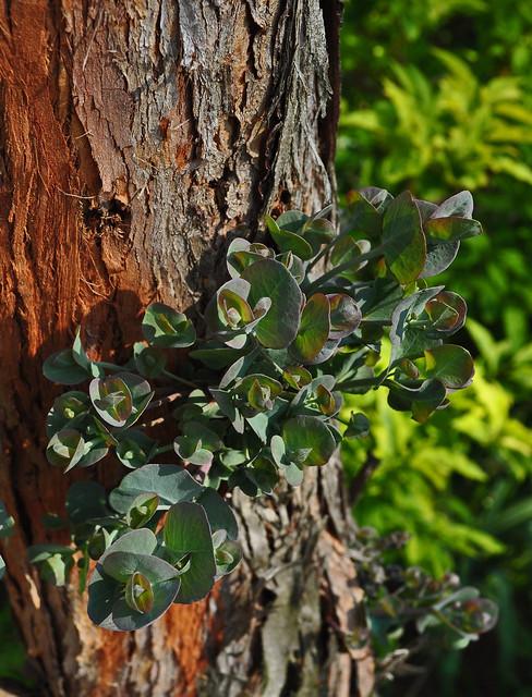 Eucalyptus gunnii (1)