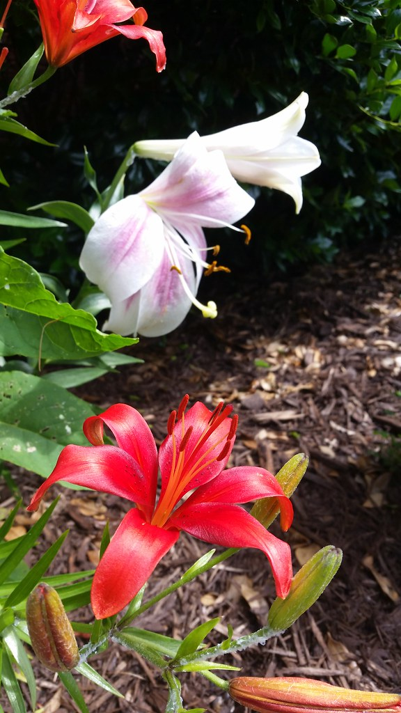 flowers, tiger lily, galaxy s 5 active