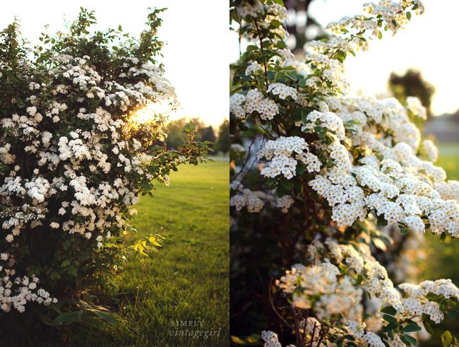 Blooming Spirea