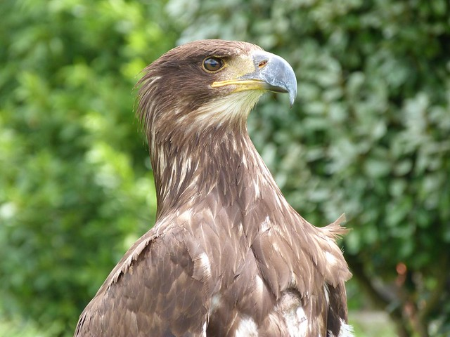 Águila Real de Cabárceno (Cantabria)