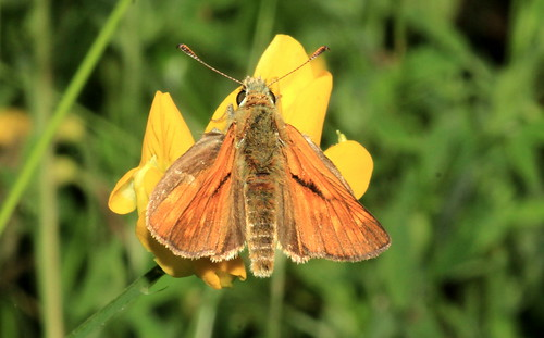 Large Skipper 29668