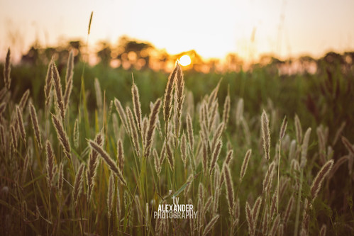 sunset summer orange sun sunlight nature beauty field grass yellow horizontal landscape photography gold leaf spring stem louisiana warm relaxing calm photograph heat backgrounds backdrop marsh organic copyspace tallgrass seaoats defocused tranquilscene madisonville harvestfestival weddingphotographer timothygrass beautyinnature sttammanyparish focusonforeground neworleansphotographer mandevillephotographer tyalexanderphotography northshorephotographer covingtonphotographer madisonvillephotographer bedicophotographer ponchatoulaphotographer