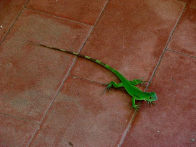baby-iguana-4