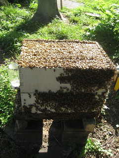 bees in hive1