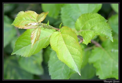 Merisier (Prunus avium) et Aphis spiraecola