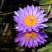 Water Lily by davidyuweb