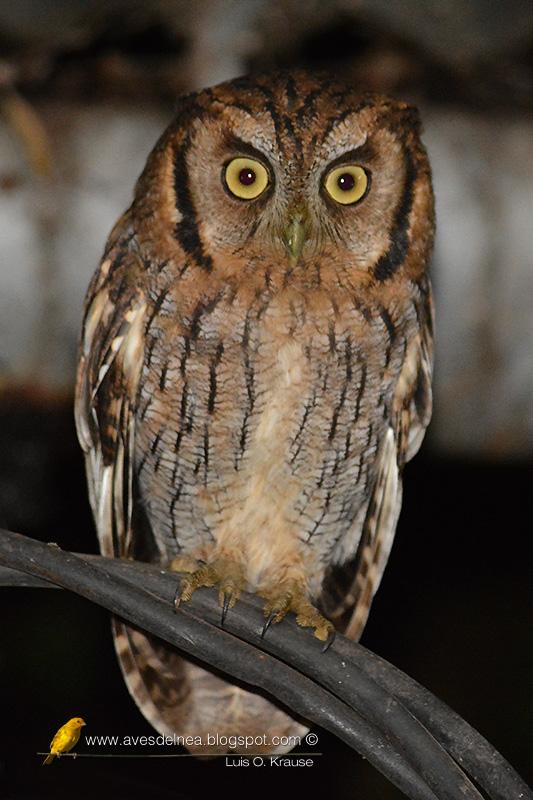 Alicucú común (Tropical Screech-Owl) Megascops choliba