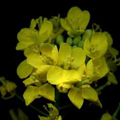 56026.03 Brassica rapa chinensis