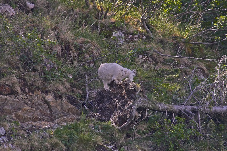 Mountain Goat - Kenai Fjords National Park