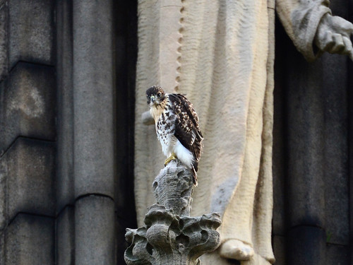 Cathedral Hawk Fledgling (2421)