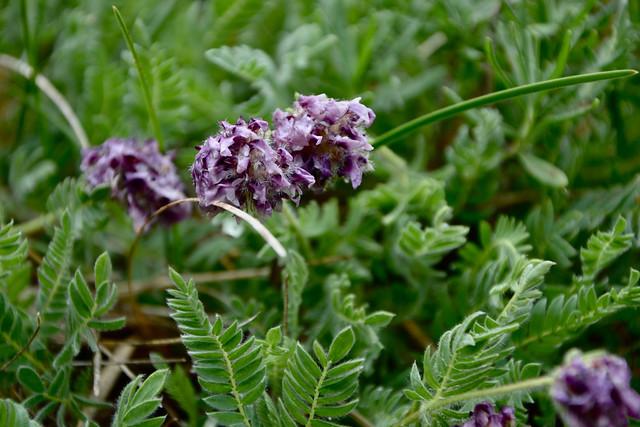 Anthyllis montana L. - vulnéraire des montagnes, anthyllide des montagnes 14441403411_418ab38029_z
