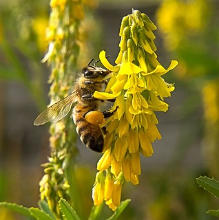 Honey Bee on Ribbed Melilot