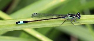 blue-tailed damselfly 381  (7)