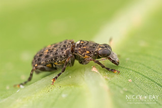 Fungus weevil (Nessiara sp.) - ESC_0039