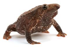 Lista de especies del orden Anura