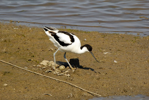 Avocet on the Nest