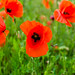 Small photo of Full of poppys