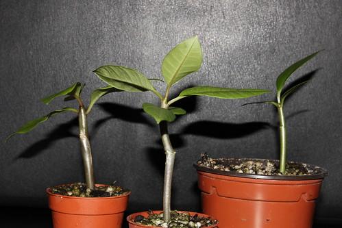 semis d'Apocynaceae : Plumeria, Adenium, Pachypodium... - Page 2 14632898896_18afb470c7