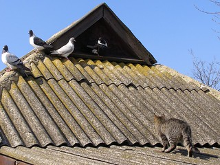 Cat Walking on Roof to Pigeons