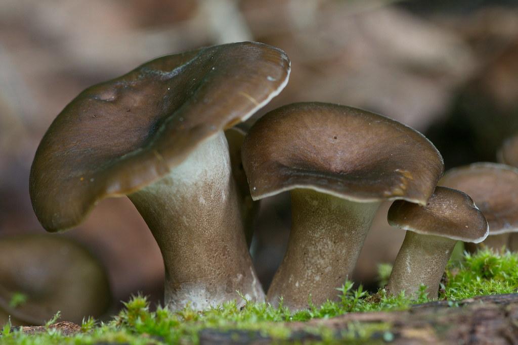 Royoporus badius. Автор фото:Татьяна Бульонкова