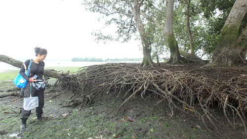 Erosion has exposed roots of this mangrove tree