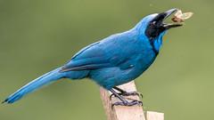 Turquoise Jay, Guango, Ecuador
