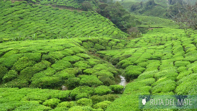 Cameron Highlands Malasia (5)